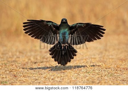 Burchells starling (Lamprotornis australis) landing with outstretched wings, South Africa