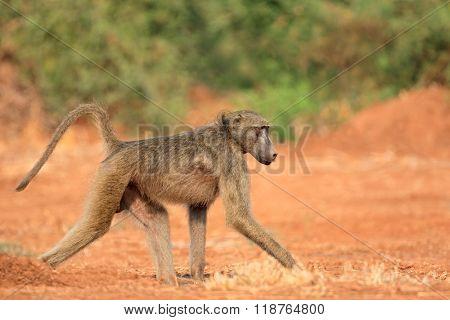 Chacma baboon (Papio hamadryas ursinus), Kruger National Park, South Africa