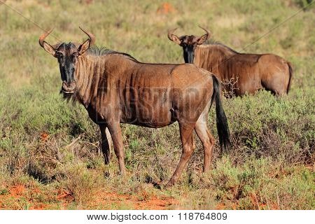 Blue wildebeest (Connochaetes taurinus) in natural habitat, South Africa