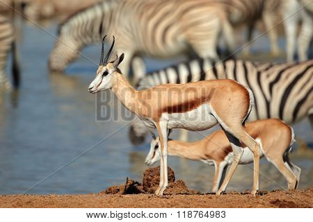 Springbok (Antidorcas marsupialis) and zebras at a waterhole, Etosha National Park, Namibia