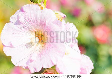 Flowers Holly Hock (Hollyhock)