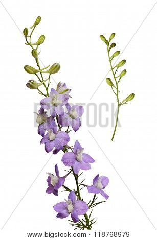 Delphinium flowers and buds isolated on white