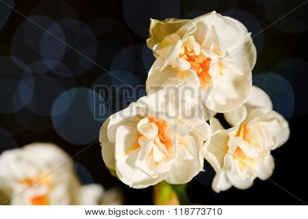 Three White Daffodil Blooms With Blue Reflections In Background