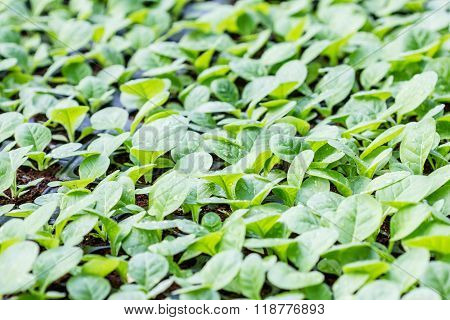 Tobacco Cultivation Young Plants Planting