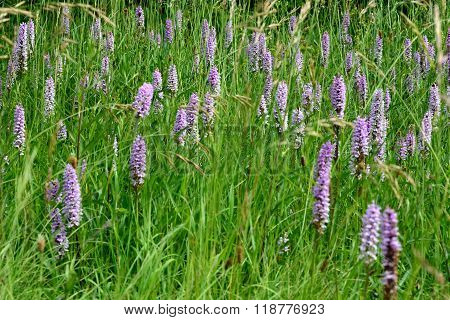 Common spotted orchid (Dactylorhiza fuchsii) cluster in meadow