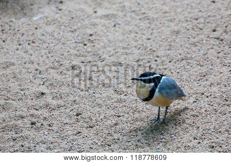 Egyptian Plover In Gravel