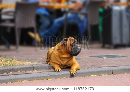 Calm Dog Lying On A Sidewalk