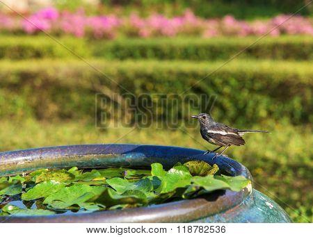 Magpie-robin Bird