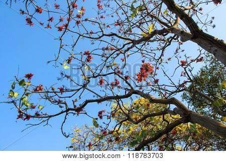 red and yellow flowers on Sunshine Tree (Erythrina variegata Linn)