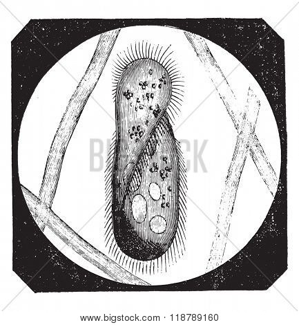 Paramecium aurelia, vintage engraved illustration. Magasin Pittoresque 1873.