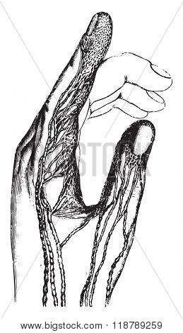 Absorbent or lymphatic vessels of the fingers, vintage engraved illustration. Magasin Pittoresque 1873.