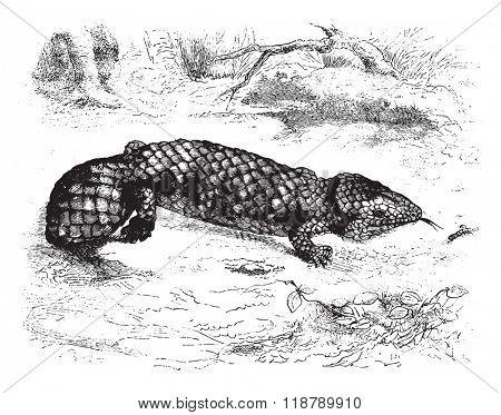 Natural History Museum of Paris, Tiliqua rugosa, vintage engraved illustration. Magasin Pittoresque 1876.