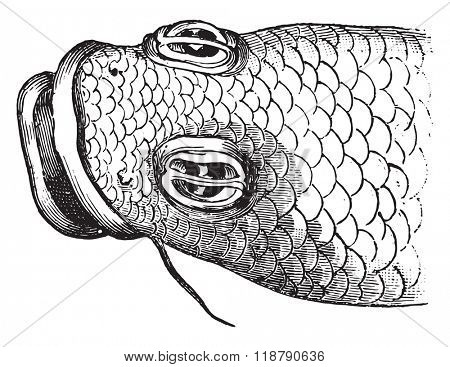 Eye of the anableps, vintage engraved illustration. Magasin Pittoresque 1876.