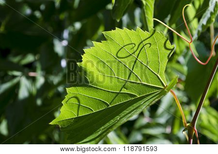 Green Grape Leaf On Grapevine, Close-up