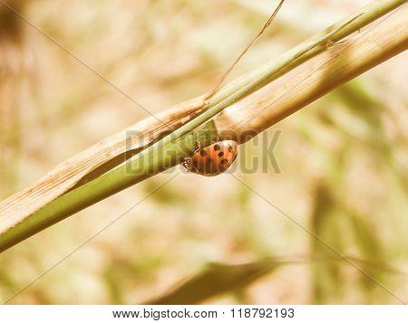 Retro Looking Lady Beetle