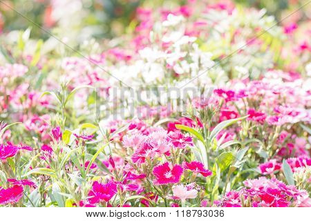 Beautiful Flowers Chinese Pink(Dianthus chinensis Linn.)