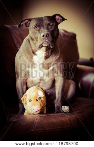 Female Pit Bull Terrier Pet Portrait
