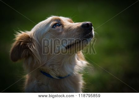 A tight back lit shot of the head and shoulders of a serene looking small female collie mix