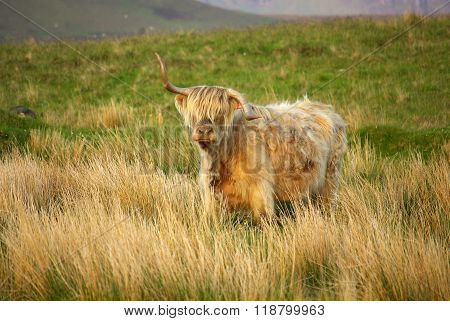 Shaggy Scottish Cow In Summer Day