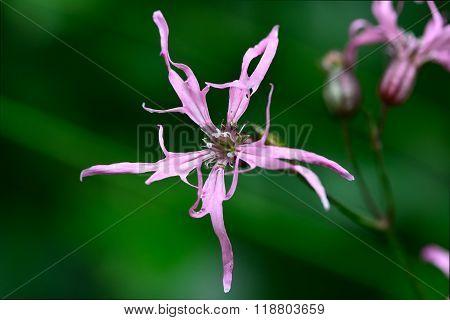 Ragged Robin (Lychnis flos-cuculi) flower