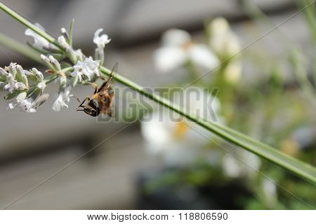 Hover fly (2)
