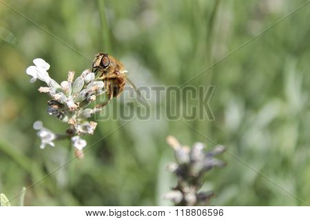 Hover fly (3)
