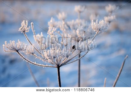The Cow-parsnip In Winter