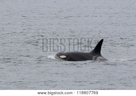 Female Orca K20 - Spock