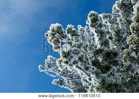 cedar branch in the snow