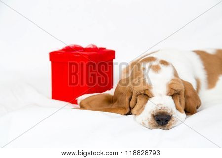 Red Gift Box And Basset Hound Puppy