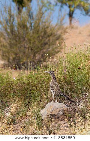 Roadrunner in the Desert