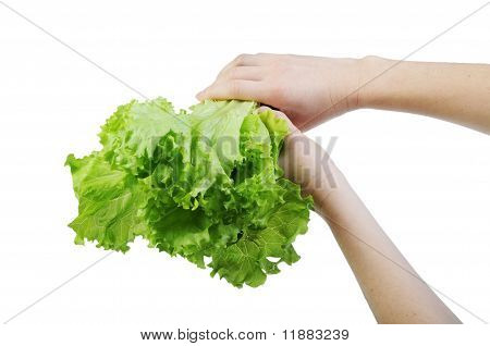 Lettuce In A Hand Isolated On The White Background