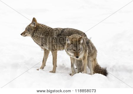 A coyote in winter