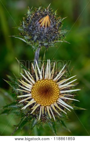 Carline thistle (Carlina vulgaris) from above