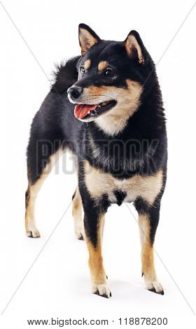 Siba inu dog isolated on white