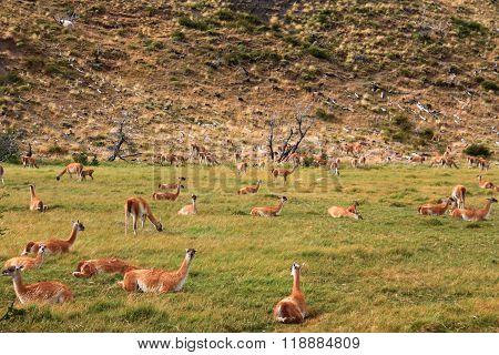 Many Llamas (Guanacos