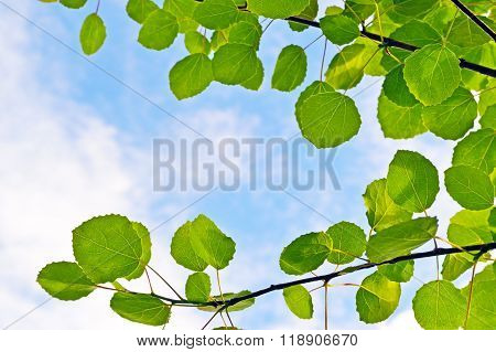 Aspen leaves on sky background