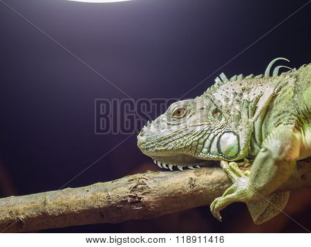 Close-up Of A Green Iguana Resting
