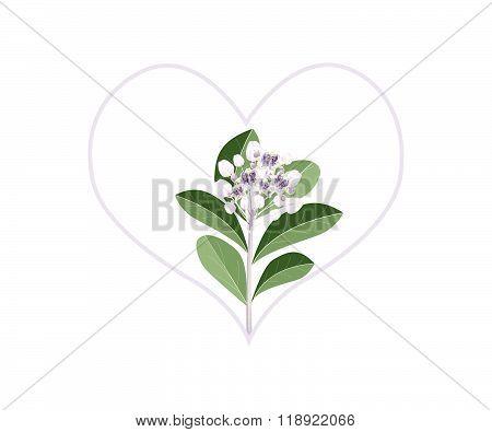 Purple Calotropis Gigantea Flowers In Heart Shape