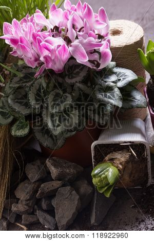 Pink Cyclamen And Two Hyacinth