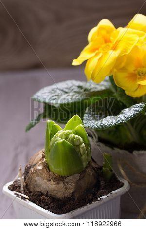 Fresh Yellow Primrose And Hyacinth