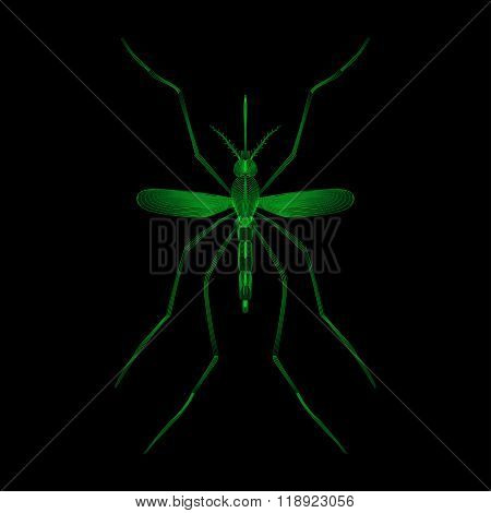Fever mosquito species aedes aegyti isolated on black background