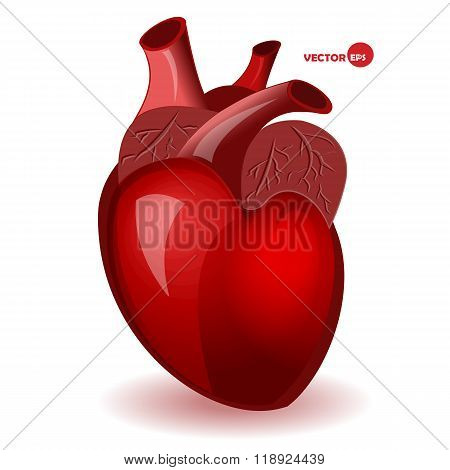 Body heart with veins in a simple comic style. Valentine's Day humor card. Anatomical heart, detaile