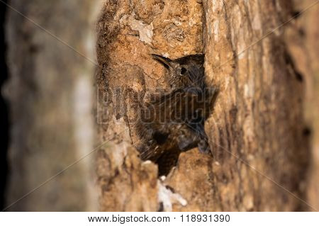 Wren (troglodytes Troglodytes) Roosting In Crevice In Tree At Night.