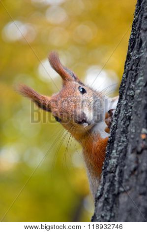 Funny curious red squirrel on tree in autumn park