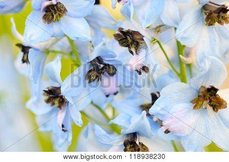 Flowers Blue Delphinium Close-up