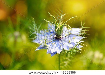Black Seed, Nigella Sativa, Purple Blue Flower