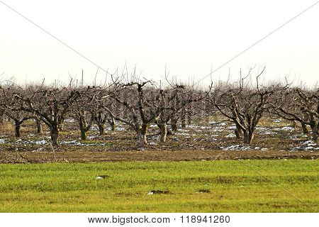 Cropped Trees In The Apple Orchard