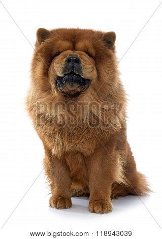 Growling Chow Chow Dog