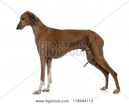 Brown Azawakh Hound